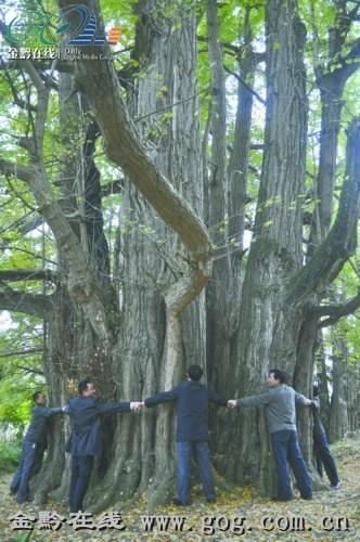 最大的一棵银杏12人才能合抱-贵州一古银杏48米高被奉为 神树 12人才