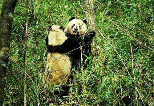 大熊猫为求爱痴守9昼夜 英勇搏斗赶走情敌(图) - 仰视另一种高度 - Cheung DE 博客