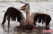 墨西哥湾漏油酿生态灾难