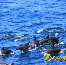 出海赏鲸豚 生态游送伴手礼