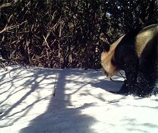 """探访""""大熊猫爱情走廊"""""""