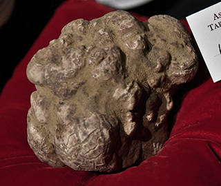 850克巨型白松露8.5万欧元高价拍出