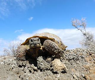 艾比湖湿地现国家一级保护动物四爪陆龟