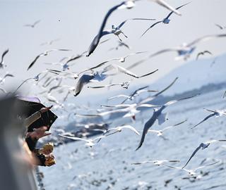 万只红嘴鸥飞抵昆明滇池 游客与鸥同乐