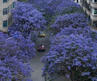 云南昆明街头蓝花楹盛开