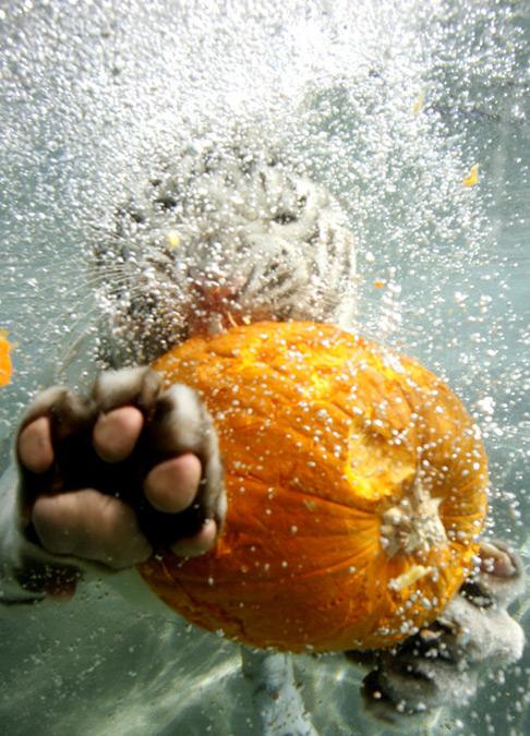 老虎改吃素了——孟加拉虎水下吃南瓜过万圣节