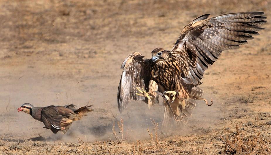 凶猛的猎鸟——吉尔吉斯斯坦传统狩猎节上的猎鸟捕猎