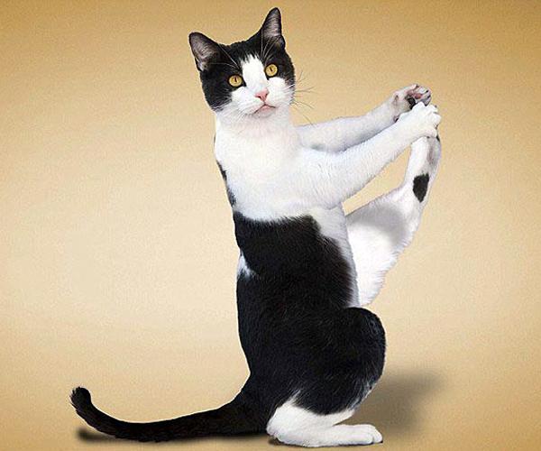 """""""瑜珈猫""""(引用) - 小金猪 - 以诚感人者,人以诚而应!"""