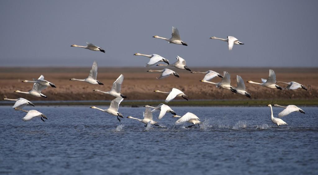 东洞庭湖国家级自然保护区内候鸟成群。新华社记者 李尕 摄